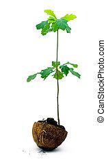oak plant - Oak tree sapling, isolated on white background