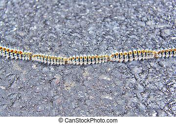 Oak processionary caterpillars or Thaumetopoea processionea on a road
