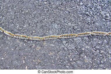 Oak processionary caterpillars, Thaumetopoea processionea, on a road