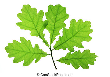 Oak (Quercus robur) - Oak leaves isolated against a white...