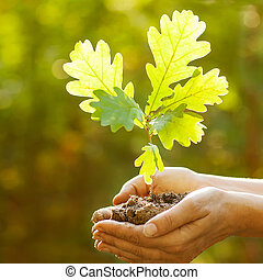 Oak sapling in hands. The leaves of