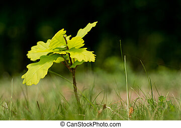 Oak saplings with blurred forrest in background