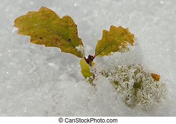 Oak seedling in the snow