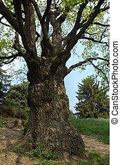 oak-tree, 大きい, 古い
