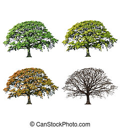 Oak tree abstract illustration of the four seasons, spring, summer, fall and winter over white background.