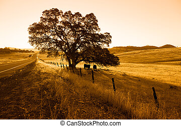 Oak Tree and Cattle