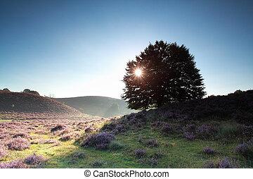 oak tree and flowering heather at sunrise