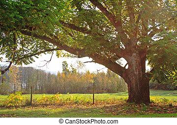 Oak Tree at Start of Autumn in Sunbeams