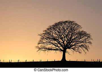 Oak tree in winter at sunset in sillouette against a golden sky.