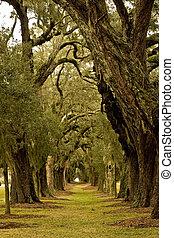Oak Tree Avenue - Massive old southern oak trees draped with...
