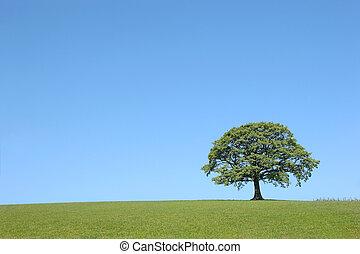 Oak tree in full leaf in summer in a field in rural countryside set against a clear blue sky.