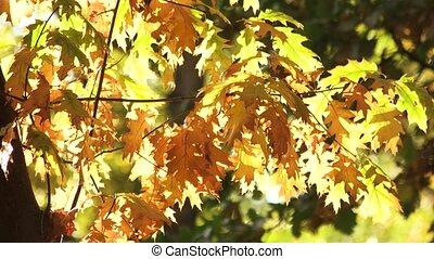 Oak tree, blowing wind.