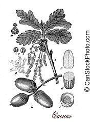 Vintage print describing oak tree botanical morphology: leaves, flowers (catkin) and fruits (acorns)