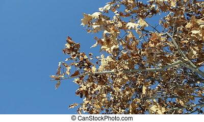 oak tree branch dry leaf