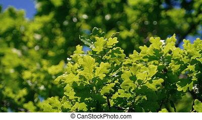 Oak Tree Branches In Breeze Closeup - Closeup of oak leaves...