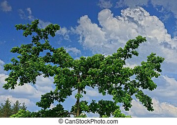 oak tree branches with green leaves against the sky
