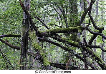 Oak tree broken branches lying