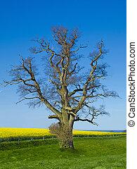 oak tree, canola field and sea landscape