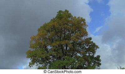 oak tree - crown of oak on the background the autumn sky
