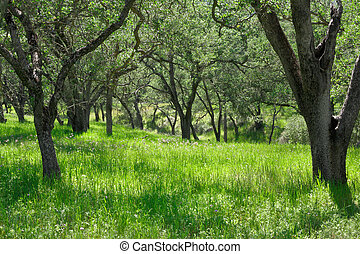Oak Tree Glade - A grassy meadow with oak trees in...