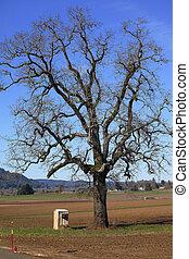 Oak tree in a field.
