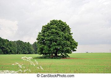 Oak tree in a field