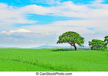 oak tree in a green field