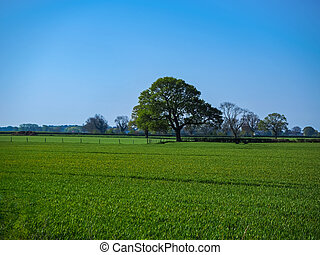 Oak tree in a green field with a blue sky in summer
