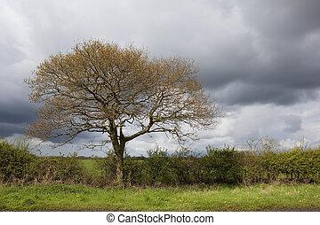 oak tree in april