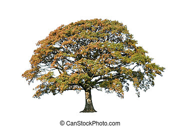 Oak Tree In Autumn - Oak tree in early autumn over white...