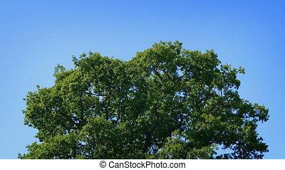Oak Tree In Breeze On Blue Sky - Large oak tree on bright...