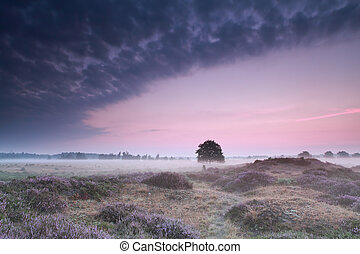 oak tree in dunes with flowering heather at sunrise