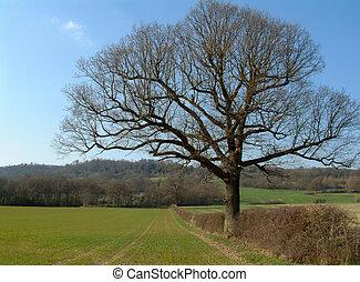 Oak Tree in England - Oak Tree in English Countryside in...