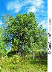 Oak Tree in Summer Forest