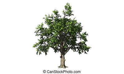 Oak tree in the wind seamless loop, against white