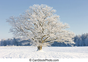 Oak tree in winter snow on the field