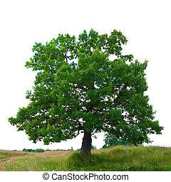 oak tree, isolated over white