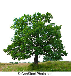 oak tree, isolated over white