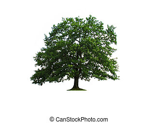 sole green old oak tree isolated over white