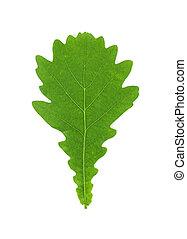 Oak tree leaf isolated on a white background