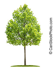 Oak tree on a white background