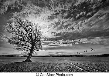Oak tree on crop field with incoming crane birds. Black and...