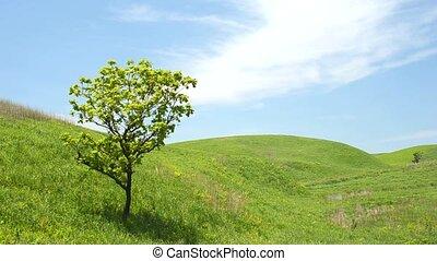 Oak tree on green hill - One oak tree on the green hill...