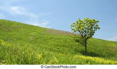 Oak tree on hillside - One oak tree on slope of a green hill...