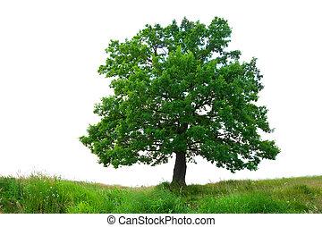 oak tree on meadow, isolated