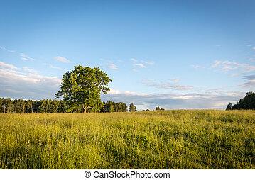 Oak tree on the field
