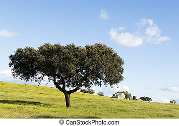 Oak tree - Quercus ilex - in a field of yellow flowers,...