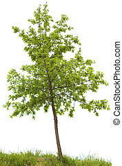 Oak tree - Small oak tree isolated on white background