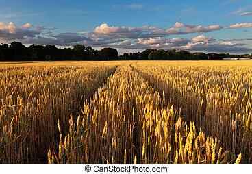 oak tree standing in the wheat field on sunset