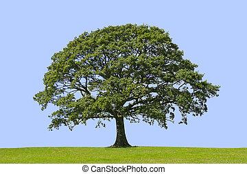 Oak tree in full leaf standing alone in a field in summer against a blue background